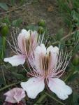 veseloe flower 36