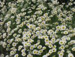 veseloe flower 37
