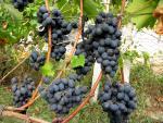 veseloe vinograd