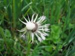 veseloe flower 17