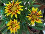 veseloe flower 22
