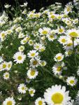 veseloe flower 35